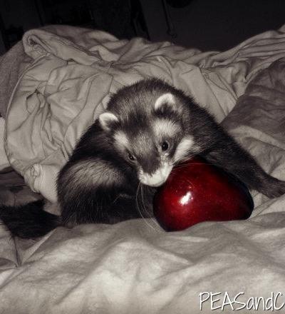 Ferret + Apple